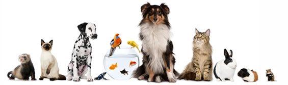 Foto Furão, gato, dálmata, aquário, pássaros, Collie, gato, coelho, chinchilla, ramster