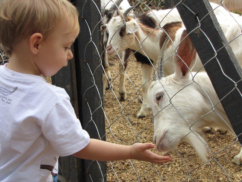 criança de 4 anos alimentando o bode através da cerca